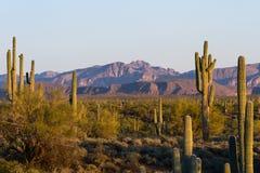 Saguaro-Kaktus - Arme entwirrt Stockbild