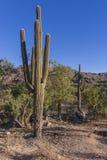Saguaro-Kaktus - Arme entwirrt stockfotografie