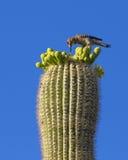 Saguaro-Kaktus - Arme entwirrt Stockfotos