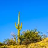 Saguaro-Kaktus in der Sonora-Wüste in Arizona lizenzfreie stockbilder
