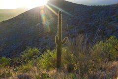 Saguaro-Kaktus in der Sonora-Wüste in Arizona lizenzfreies stockfoto