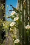 Saguaro kaktus Kwitnie z Białym kwiatem i owoc zdjęcia stock