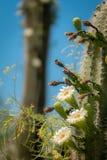 Saguaro kaktus Kwitnie z Białym kwiatem i owoc zdjęcie royalty free