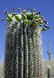 Saguaro-Kaktus - nahes hohes Lizenzfreie Stockbilder