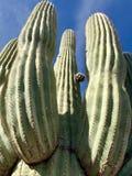 Saguaro kaktus, Sonoran pustynia, Południowo-zachodni Stany Zjednoczone zdjęcie stock