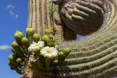 Saguaro-Kaktus und Blumennahaufnahme lizenzfreies stockbild