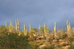 Saguaro-Kaktus und stürmischer Himmel Lizenzfreies Stockbild