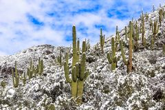 Saguaro kaktus w halnej śnieżnej scenie Śnieżny kaktus pustyni krajobraz Fotografia Stock