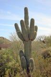 Saguaro-Kaktus-Wüste Arizona Stockfotos