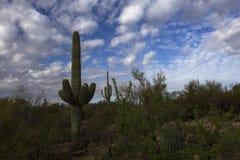 Saguaro kaktus z Unikalnymi chmurami w niebie, Tucson, Arizona Zdjęcie Stock