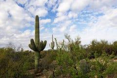 Saguaro kaktus z Unikalnymi chmurami w niebie, Tucson, Arizona Obraz Royalty Free
