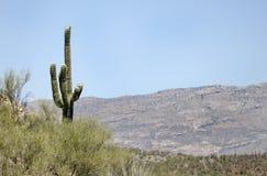 Saguaro kaktusa pustyni góry, Kolosalny jamy góry park, Arizona zdjęcie royalty free