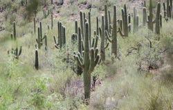 Saguaro kaktusa pustyni góry, Kolosalny jamy góry park, Arizona fotografia royalty free