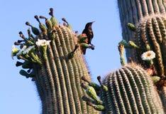 Saguaro-Kaktusblumen mit Grackle Stockbilder