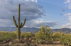 Saguaro Landscape Stock Photography