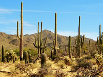 Saguaro-Landschaft Stockbild