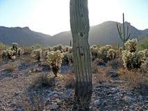 Saguaro mit dem Strömen der Sonne lizenzfreies stockbild