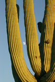 Saguaro and Moon. Saguaro cactus in Saguaro National Park near Tucson Arizona showing blue sky background with moon Stock Images