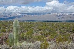 Saguaro mot dolda berg för snö Royaltyfri Fotografi