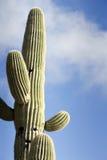 Saguaro mot skyen med moln Arkivfoto