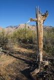 Saguaro muerto Fotografía de archivo libre de regalías
