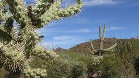Saguaro nationaal park stock videobeelden