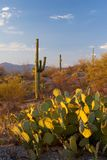 Saguaro National Monument at Sunset. The Saguaro and Prickly-pear cacti of the Sonora Desert - Saguaro National Monument, Arizona, USA royalty free stock photo