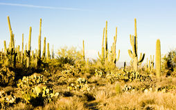 Saguaro National Park. Arizona, USA Stock Photography