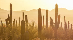 Saguaro National Park. Amazing Sunset Image of Saguaro National Park stock images