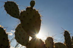 Saguaro National Park, Arizona. Sun shining through the cactus in Sonoran desert. Saguaro National Park, Arizona Stock Images