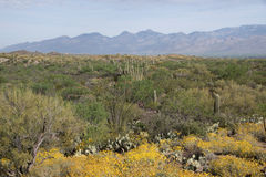Saguaro National Park, Arizona, USA Royalty Free Stock Image