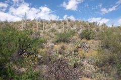 Saguaro National Park, Arizona, USA Royalty Free Stock Images