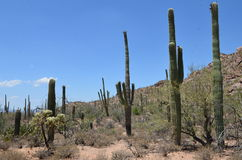 Saguaro National Park,  Arizona, USA. Tall Saguaro Cactus - Saguaro National Park, Sonoran Desert, Tucson, Arizona Stock Photo