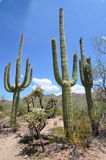 Saguaro National Park,  Arizona, USA. Tall Saguaro Cactus - Saguaro National Park, Sonoran Desert, Tucson, Arizona Stock Photography