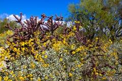 Saguaro National Park. Flowering yellow Brittlebush, Red Cholla cactus, and mesquite in Saguaro National Park stock photo