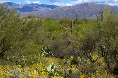 Saguaro National Park. Flowering yellow Brittlebush, a variety of cacti, mesquite, and mountain views in Saguaro National Park stock photo