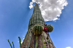 Saguaro National Park. Massive cactus at Saguaro National Park in Arizona Royalty Free Stock Photos