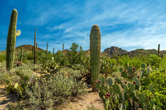 Saguaro National Park. In southern Arizona is part of the National Park System in the United States. The park preserves the desert landscape, fauna, and flora Royalty Free Stock Photo