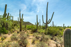 Saguaro National Park. In southern Arizona is part of the National Park System in the United States. The park preserves the desert landscape, fauna, and flora Royalty Free Stock Photos