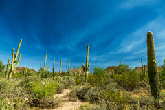 Saguaro National Park. In southern Arizona is part of the National Park System in the United States. The park preserves the desert landscape, fauna, and flora Stock Image