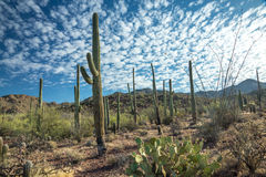 Saguaro National Park in Spring. Majestic Saguaro cactus sentinals tower above the colorful Sonoran desert landscape beneath a canopy of white clouds Stock Photos