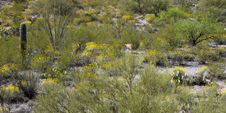 Saguaro National Park. Two deer in Saguaro National Park, near Tucson, Arizona royalty free stock images