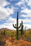 Saguaro National Park, USA Royalty Free Stock Images