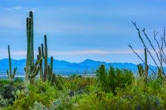 Saguaro NP, AZ Стоковые Изображения RF