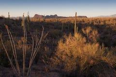 Saguaro, Ocotillo e montagna Fotografie Stock