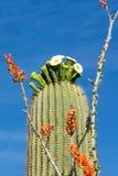 Saguaro okwitnięcie jest stanu wildflower Arizona zdjęcia stock