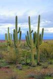 Saguaro onnipotente, deserto dell'Arizona Fotografia Stock Libera da Diritti