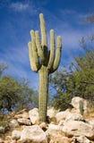 Saguaro op Rocsk Royalty-vrije Stock Fotografie