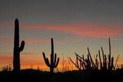 Saguaro, Organ Pipe and Ocotillo cactuses at sunset in Organ Pipe Cactus National Monument, Arizona, USA. Saguaro, Organ Pipe and Ocotillo cactuses at sunset in stock photos