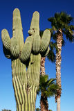 Saguaro & Palm Trees Stock Images